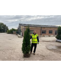 Thuja Emerald Root Ball 160/180cm Digging Now