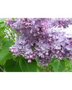 Syringa vulgaris Katherine Havemeyer 4.5 Litre Pot