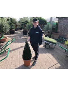 Yew Cone 12 Litre Pot 80/90cm