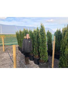 Yew Fastigiata Aurea 35 Litre Pot 160/170cm