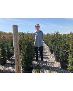 Yew Hedging Extra Bushy 100-120 cm