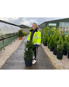 Yew Hedging Root Ball 60/80cm Pre Order