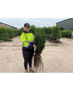 Yew Hedging Bare Root 35/40cm Delivery November
