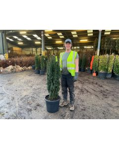 Yew Fastigiata Potted Root Ball 140-160cm