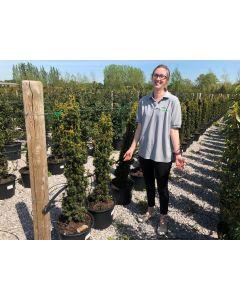Yew Fastigiata Aurea 20 Litre Pot 110-120cm