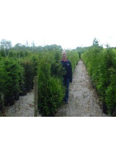 Thuja Brabant Root Ball 200cm Plus