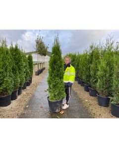 Thuja Occidentalis Emerald Root Ball 175/200cm Digging Now