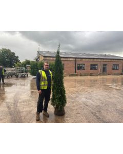 Thuja Emerald Root Ball 175-200cm