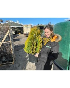 Thuja Occidentalis Golden Emerald 10 Litre Pot