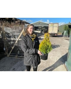 Thuja Occidentalis Golden Emerald 4.5 Litre Pot