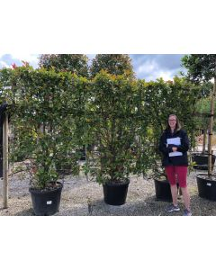 Photinia x Fraseri Red Robin Wall frame 70 Litre