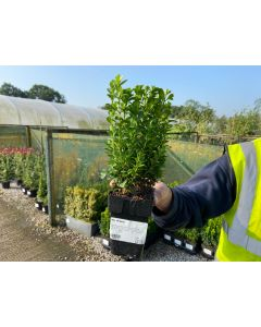 Box Hedging 20-25cm High 11cm Pot