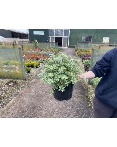 Pittosporum Tenuifolium Golf Ball 5 Litre Pot