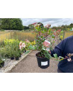 Viburnum Tinus Gwenllian 3 Litre Pot