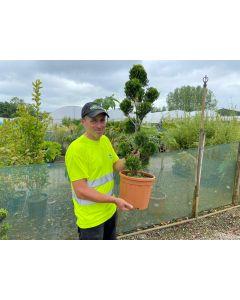 Cupressus Castlewellan Pom Pom 12 Litre Pot
