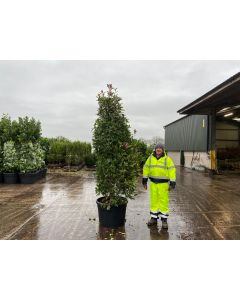 Photinia Red Robin Root Ball 260/280cm