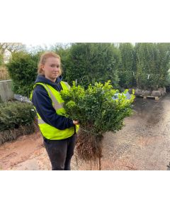 Box Hedging 30-35cm Bare Root
