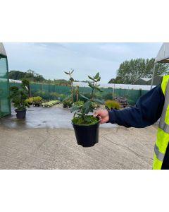 Viburnum Burkwoodii 3 Litre Pot