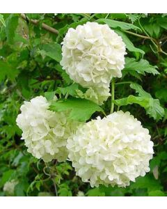 Viburnum Bodnantense Charles Lamont 10 Litre Pot