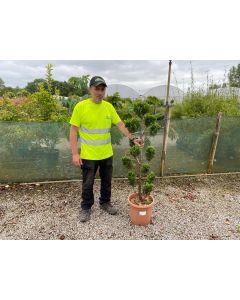 Cupressus Castlewellan Pom Pom 15 Litre Pot