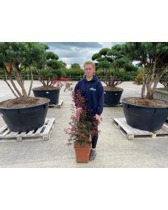 Acer palmatum Shaina 45 Litre Pot