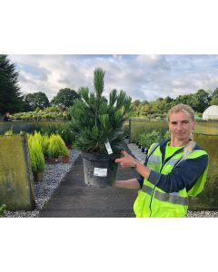 Pinus mugo Humpy 4.5 Litre Pot