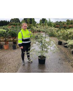 Cornus controversa Alternifolia Argentea 20 Litre Pot