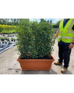 Portuguese Laurel  Planted Screen 1 metre long x 1.2 Metre Tall (inc planter)