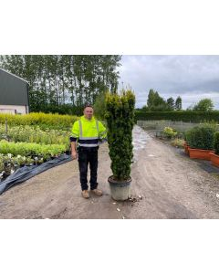 Yew Baccata David 45 Litre Pot 160-175cm Heavy Column