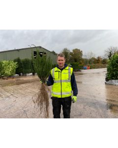 Yew Hedging Bare Root 50 cm