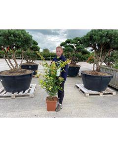Acer palmatum Katsura 30 Litre Pot