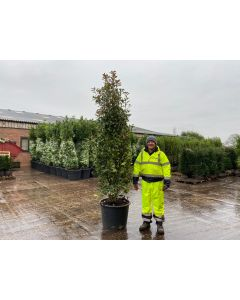 Photinia Red Robin Root Ball 220/240cm