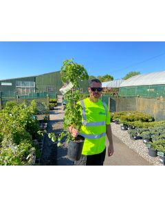 Hydrangea Petiolaris 4 Litre Pot