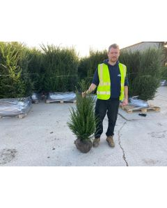 Yew Hedging Root Ball 100-120cm