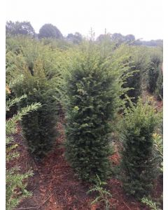 Yew Hedging Root Ball 140/160cm Pre Order