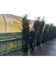 Yew Hedging Rootball 200-220 cm