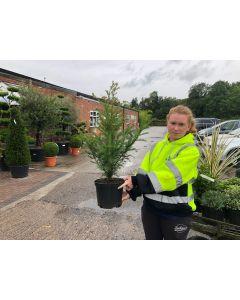 Yew Hedging 5 Litre Pot  80-90 cm
