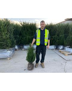 Yew Hedging Root Ball 60-80cm