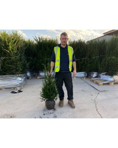 Yew Hedging Root Ball 80-100cm