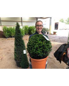 Yew Ball 25 Litre Pot Grown 50cm