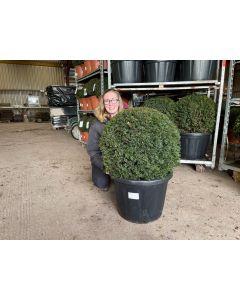 Yew Ball 35 Litre Pot 60/70m