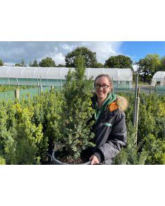 Yew Hedging Hicksii 20 Litre Pot 70/80cm