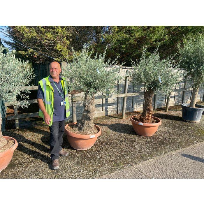 Olive Tree 110 Litre Pot Ancient Gnarled Tree