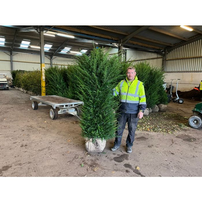 Yew Hedging 180-200 cm Root Ball Extra Wide