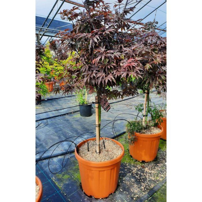 Acer palmatum Shaina 25 Litre Pot 1/4 Standard