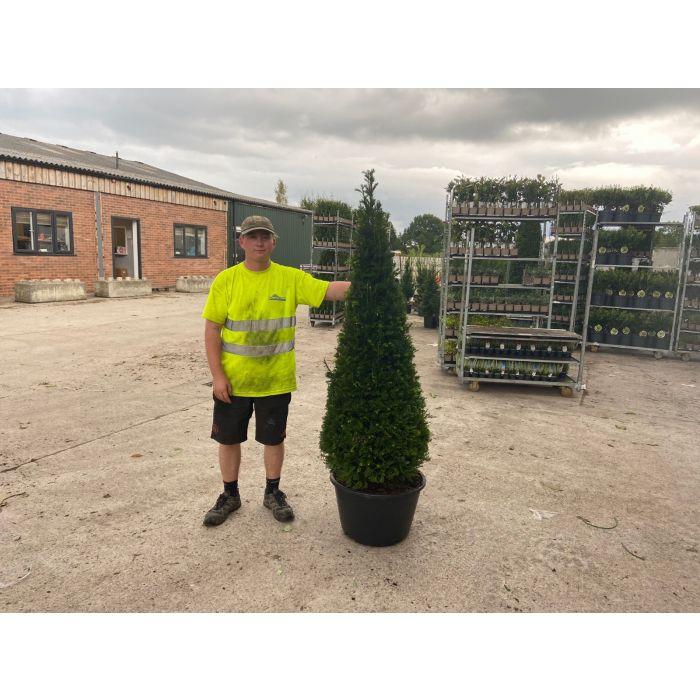 Yew Cone 160 - 170 cm 45 Litre Pot