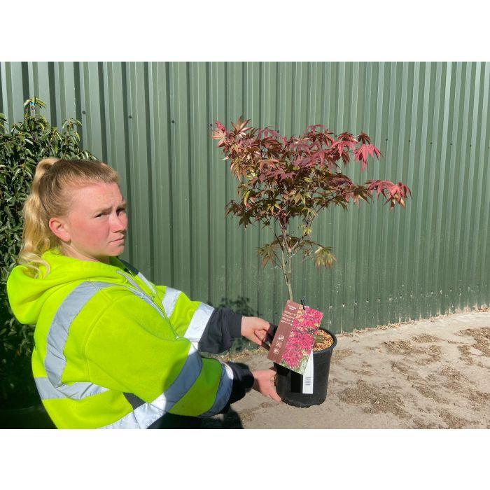 Acer palmatum Bloodgood 4.5 Litre