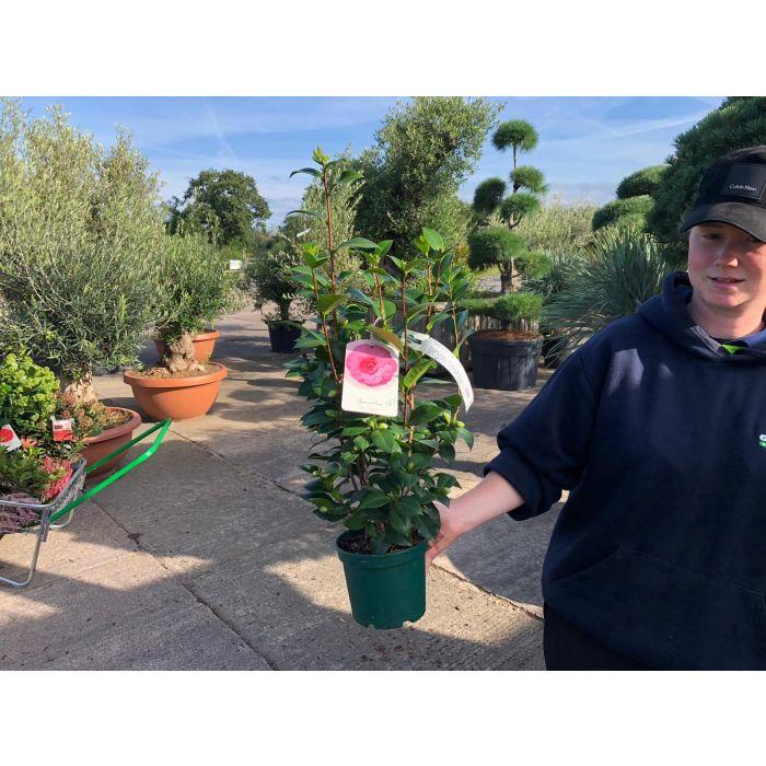Camellia Jap.Miss Tingley 1.5 Litre Pot
