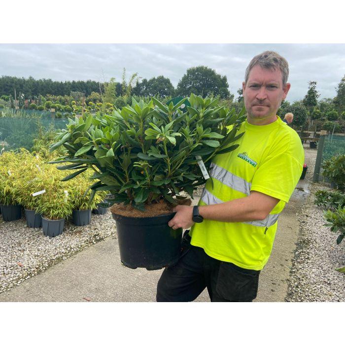 Rhododendron Hybrid Cosmopolitan 25 Litre Pot