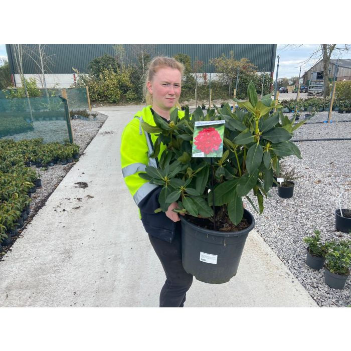 Rhododendron Mosers Maroon 20 Litre